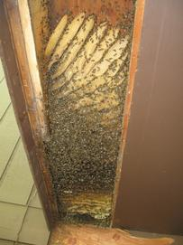 Colony with combs fully exposed.  Life was never going to be the same as they had known it!