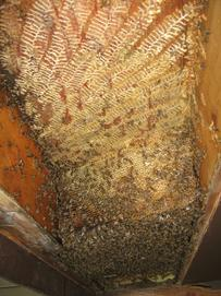 Bees were brushed off outside of each comb, it was cut down and bees brushed off the other side.